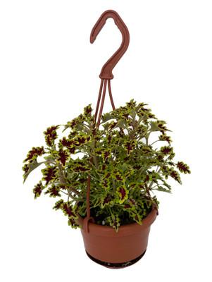 "Lovebird Coleus - 4"" Mini Hanging Basket - Colorful House Plant"