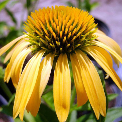 "Big Sky™ Harvest Moon Coneflower Perennial - Echinacea - Live Plant - 4"" Pot"