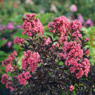 """CENTER STAGE® Coral Crapemyrtle - Lagerstroemia indica - Proven Winners - 4"""" Pot"""