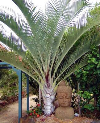 """Triangle Palm - Dypsis decaryi - 4"""" Pot - Unique Shape"""