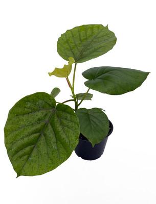 """Umbellata Fig Tree - Ficus Umbellata - 6"""" Pot - Great Indoor Tree"""