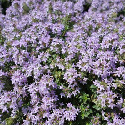"Magic Carpet Thyme Plant - Pretty Pink Flowers - Hardy - Live Plant -  3"" Pot"