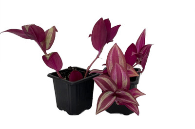 """Red Tradescantia - 2 Plants - 3"""" Pots - Easy to Grow House Plant"""