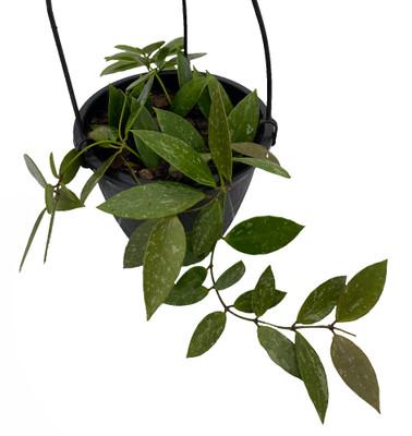 "Rare Hoya Memoria Wax Plant - Hoya Gracilis - House Plant - 2"" Pot"