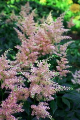 Peach Blossom Astilbe - Warm Peachy Pink - Live Plant - Gallon Pot