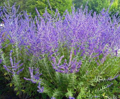 Crazy Blue Russian Sage Plant - Perovskia - Gallon Pot