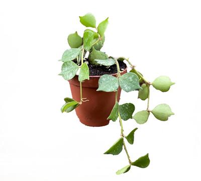 "Aloha Wax Plant - Hoya Curtisii - Collector's Series - 2"" Pot"
