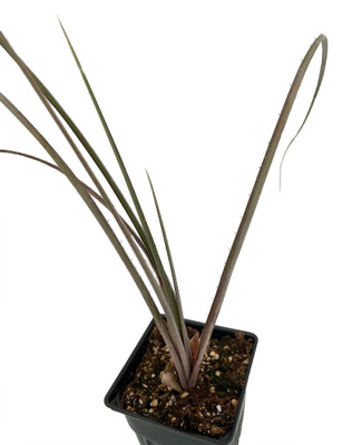 "Jonesiana Dyckia Plant - 4"" Pot - House Plant-Succulent Bromeliad"