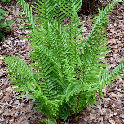Hardy Tokyo Wood Fern - Dryopteris tokyoensis - Gallon Pot