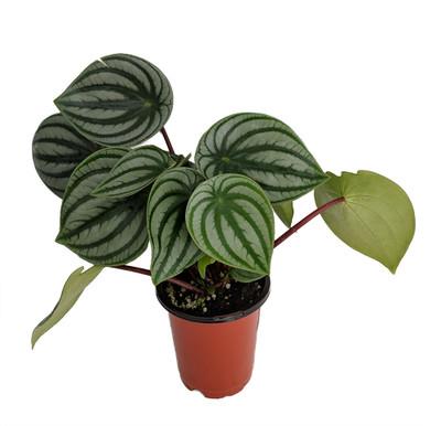 """Watermelon Peperomia 6"""" Pot  - Easy to Grow Houseplant"""