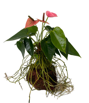 Pink Hawaiian Anthurium Volcano Rock Planter - Easy to Grow House Plant