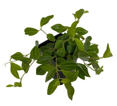 """Diamond Peperomia puteolata - Easy to Grow House Plant - 2.5"""" Pot"""