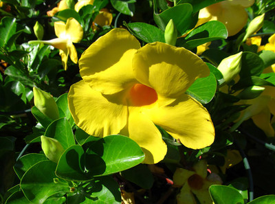 "Yellow Mandevilla Urechites lutea - 2.5"" Pot"