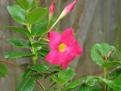 "Red Riding Hood Mandevilla - 2.5"" Pot - Hot Pink Blooms"
