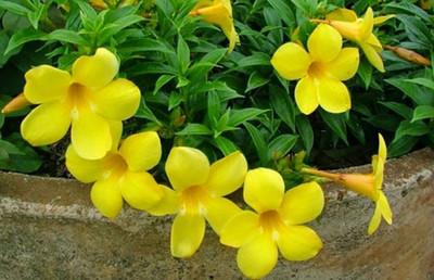 "Golden Trumpet Allamanda cathartica - Climbing - 2.5"" Pot"