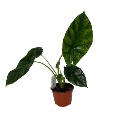 "Quilted Dream Elephant Ear - Alocasia Sinuata - Houseplant - 4"" Pot"