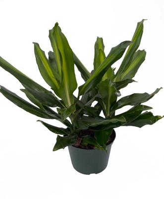 "Sunrise Dragon Tree - Dracaena - 6"" Pot - Easy to Grow House Plant"