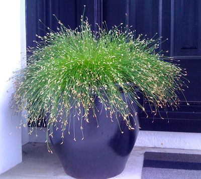 Fiber Optic Grass 50 Seeds - NEW -STRANGE - Indoors/Out