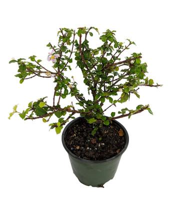 "Singapore Miniature Holly Plant - Malpighia coccigera - Edible Fruit -  4"" Pot"