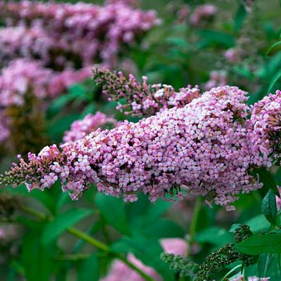 MONARCH® Collection Princess Pink Butterfly Bush - Buddleia - Gallon Pot