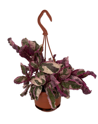 "Snow White Waffle Plant - Hemigraphis - 4"" Mini Hanging Basket"