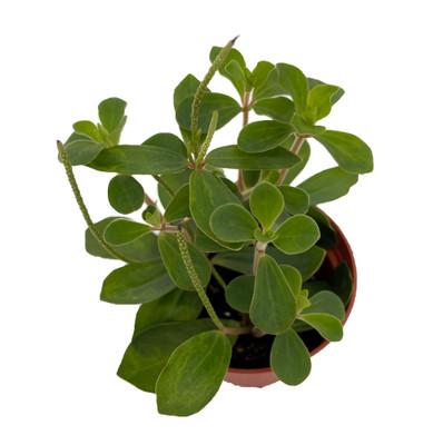 """Belly Button Peperomia Plant - Peperomia verticillata - 2.5"""" Pot"""