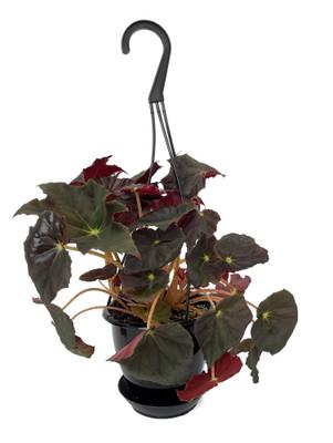 "Joe Hayden Rex Begonia Plant - 4.5"" Black Hanging Basket - Great Houseplant"