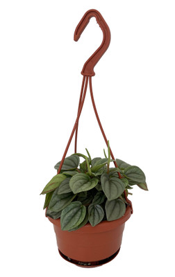"Frost Peperomia - 4"" Mini Hanging Basket - Easy to Grow Houseplant"