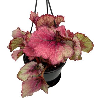 "Jurassic Heartbreaker Rex Begonia Plant - 4.5"" Black Hanging Basket"