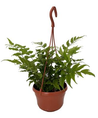 "Holly Fern - Cyrtomium falcatum - 6"" Hanging Basket"