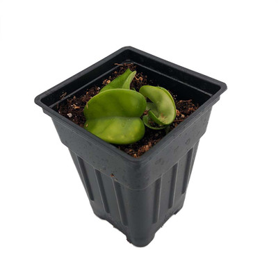 """Hindu Indian Rope Plant - Hoya - Exotic yet Easy - 2"""" Pot - Collector's Series"""