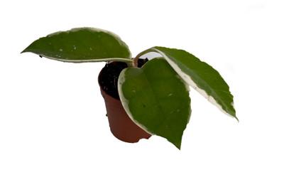 """Krimson Queen Wax Plant - Hoya - 2"""" Pot"""