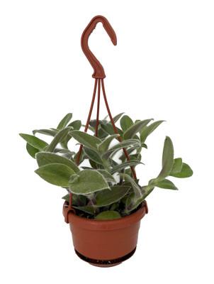 """Fuzzy White Velvet Tradescantia sillamontana - 4"""" Mini Hanging Basket"""