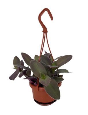 "Fuzzy Purple Tradescantia - 4"" Mini Hanging Basket - Easy to Grow House Plant"