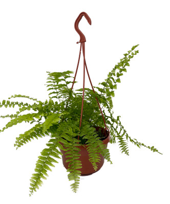 "Boston Fern - Nephrolepis exaltata - 6"" Hanging Basket"