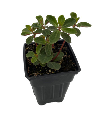 "Red Log Peperomia Plant - Peperomia verticillata - 2.5"" Pot"