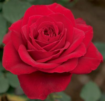 "Olympiad 'MACauck' Hybrid Tea Rose Bush - Slightly Fragrant - 4"" Pot"