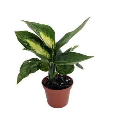 "Tropic Marianne Dieffenbachia Plant - Exotic & Easy to Grow - 4"" Pot"