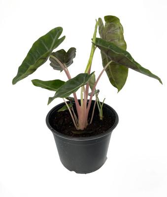 "Pink Dragon Elephant Ears Plant - Alocasia -Houseplant - 6"" Pot"