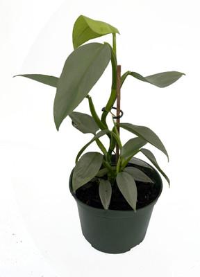 """Rare Silver Sword Philodendron Hastatum - 6"""" Pot"""