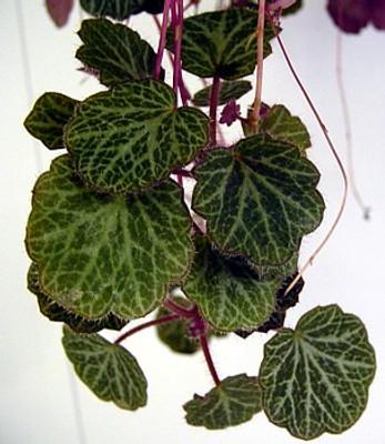 """Strawberry Begonia Plant - 6"""" Hanging Basket -Saxifraga"""