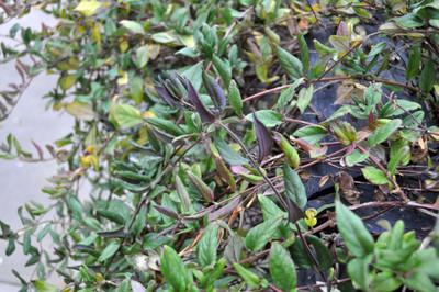 """Purple-Leaf Japanese Honeysuckle Perennial- Lonicera japonica purpurea- 2.5"""" Pot"""