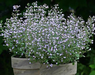 Marvelette Blue Catmint Perennial - Calamintha nepeta - Quart Pot