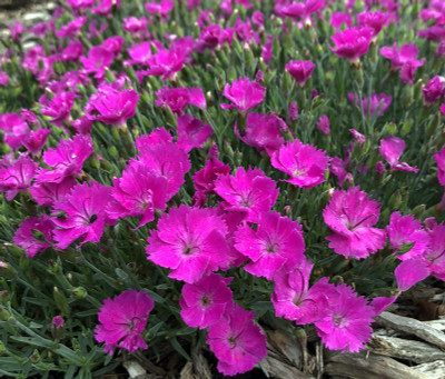 Paint the Town Fuchsia Dianthus Perennial - Gallon Pot - Fragrant