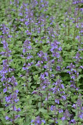 Blue Wonder Catmint Perennial Plant - Nepeta racemosa - Gallon Pot