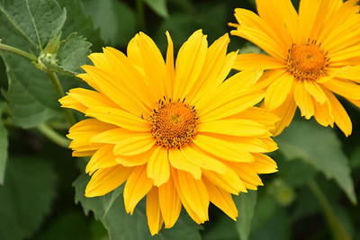 Venus Heliopsis Perennial - Golden Yellow Blooms - Gallon Pot