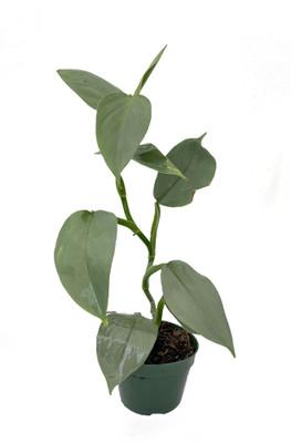 """Rare Silver Sword Philodendron Hastatum - 4"""" Pot"""