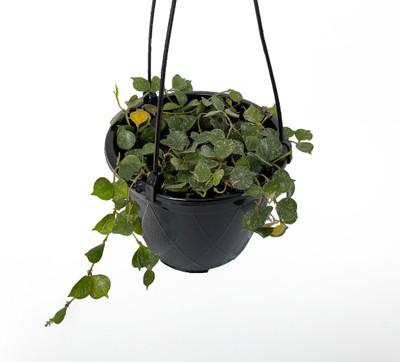 "Hoya Aloha - Hoya Curtisii - Collector's Series - 4.5"" Hanging Basket"