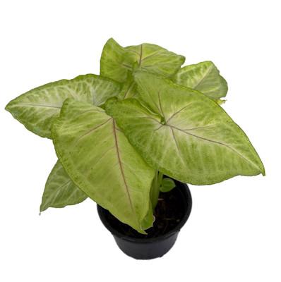"""Golden Allusion Arrowhead Plant - Syngonium/Nepthytis - 4"""" Pot"""