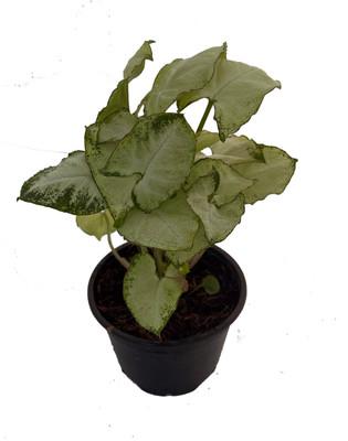 "Pixie Arrowhead Plant - Syngonium/Nepthytis - Great Houseplant- 4"" Pot"